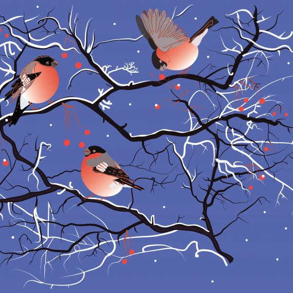 Bullfinches birds on rowan tree branches with berries in winter snow on evening blue background.